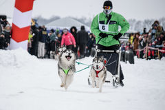 Sportive dog rasing. Sportive dog team is running in the snow Royalty Free Stock Image