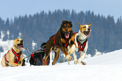 Sportive dogs Royalty Free Stock Photos
