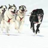 Sportive dogs Royalty Free Stock Image