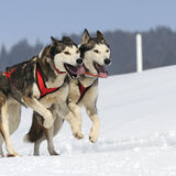 Sportive dogs Stock Photography