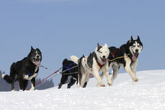 Sportive dogs Royalty Free Stock Photo
