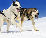Sportive dogs Stock Images