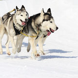 Sportive dogs Royalty Free Stock Photography