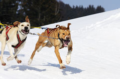 Sportive dogs Stock Image