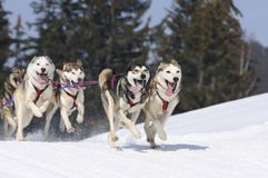 Free Sportive Dogs In The Mountain Royalty Free Stock Photos - 14771218