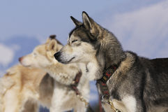 Sportive dogs in the mountain. Active dogs in the snow Stock Photo