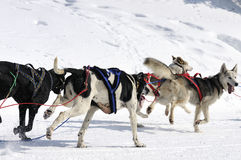 Sportive dogs in the mountain. Active dogs in the snow Royalty Free Stock Photo