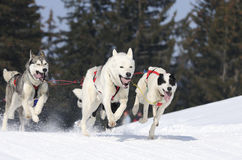 Sportive dogs in the mountain Royalty Free Stock Image