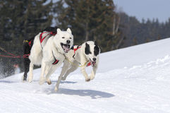 Sportive dogs in the mountain Stock Photos
