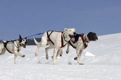 Sportive dogs in the mountain Royalty Free Stock Images