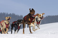 Sportive dogs in the mountain. Active dogs in the snow Royalty Free Stock Photos