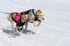 Sportive dogs in the mountain. Active dogs in the snow Royalty Free Stock Photography