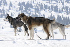 Sportive dogs in the mountain. Active dogs in the snow Royalty Free Stock Images