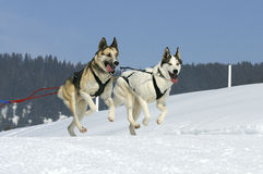 Sportive dogs in the mountain. Active dogs in the snow Royalty Free Stock Image