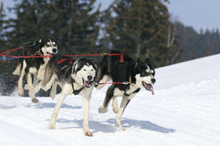 Sportive dogs in the snow. Sportive dogs team running in the snow Stock Photo
