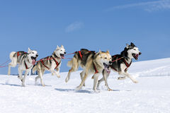 Sportive dogs in the snow Royalty Free Stock Images