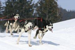 Sportive Hunde im Schnee Stockfoto