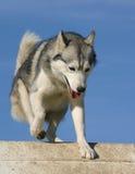 Sportive husky Royalty Free Stock Photo