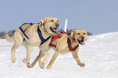 Sportive labradors in the mountain Royalty Free Stock Photo