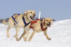 Sportive labradors in the mountain. Active Labrador dogs in the snow Royalty Free Stock Photo