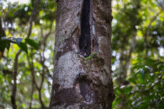 Sportive lemur Royalty Free Stock Images