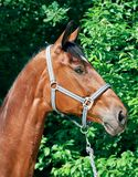 Sportive nice bay horse Royalty Free Stock Image