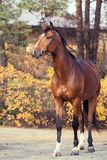 Sportive warmblood horse posing against stable. autumn season