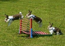 Sportkonijn het springen Royalty-vrije Stock Fotografie