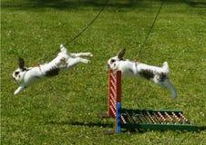 Sportkonijn het springen Stock Foto