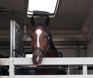 Sportpaard vóór de concurrentie Stock Foto's