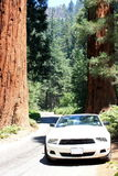 Sports car in Sequoia forest Royalty Free Stock Images