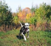 Sports de Dalmate de chien photos libres de droits