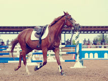 Sports horse. Royalty Free Stock Photos