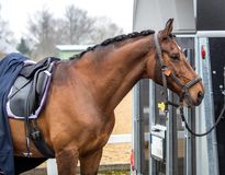 Sports horse rest after the tournament.  royalty free stock images