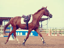 The sports horse trots. Stock Photography