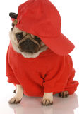 Sports hound. Adorable pug wearing red shirt and sports cap Stock Photo