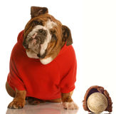 Sports hound. English bulldog with baseball and glove Stock Photo