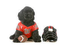 Sports hound. American cocker spaniel puppy wearing football uniform isolated on white background Stock Photo