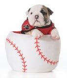 Sports hound. Bulldog puppy inside a baseball Royalty Free Stock Photo