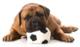 Sports hound Royalty Free Stock Image