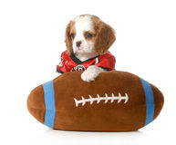 Sports hound. Cute cavalier king charles spaniel puppy dressed up like a football player with stuffed toy football - 7 weeks old Royalty Free Stock Image