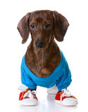 Sports hound Royalty Free Stock Images