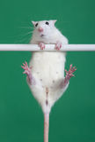 Sports rat Stock Image