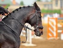 Sports saddle horse with Hackamore bridle. Amazing horse head with Hackamore bridle on sports arena background Royalty Free Stock Photo