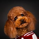 Sportswear коричневого ‹â€ ‹â€ собаки игрушечного нося стоковые изображения rf