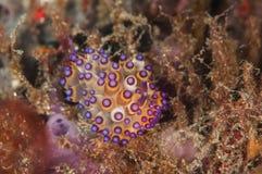 Sporttauchen lembeh Indonesien-janolus nudibranch Lizenzfreie Stockfotografie