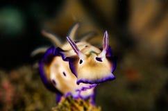 Sporttauchen lembeh Indonesien-nudibranch Taucher Stockbild