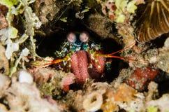 Sporttauchen lembeh Indonesien-Pfaugottesanbeterin, die Unterwasserfischeier laicht Lizenzfreies Stockfoto
