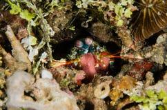 Sporttauchen lembeh Indonesien-Pfaugottesanbeterin, die Unterwasserfischeier laicht Lizenzfreie Stockbilder