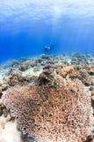 Sporttaucher und Korallen Stockbild